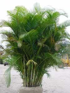 Areca palma de frutos de oro palmera amarilla palmera for Tipos de palmeras de exterior