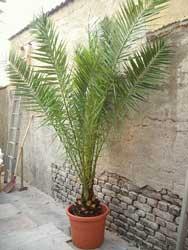 Palmera canaria palma canaria f nix palma de las for Tipos de palmeras de exterior