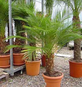Palmera enana palmera pigmea palmera robeleni datilera for Palmeras pequenas para jardin