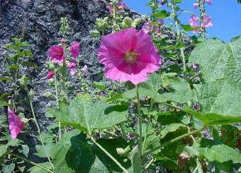 Malva real malvarrosa malva loca altea althaea rosea for Malvarrosa planta