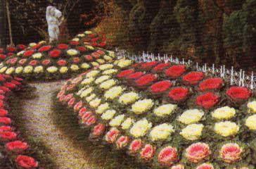 Col de jardín, Col ornamental, Repollo de adorno, Berza ornamental