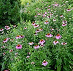 http://fichas.infojardin.com/foto-perennes-anuales/echinacea-purpurea.jpg