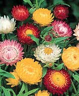 Inmortal Siempreviva Flor De Paja Flor De Papel Helichrysum