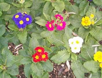 Primula vulgaris nombre común