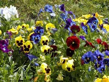 BUSQUEMOS HERMOSAS FLORES - Página 2 Viola-wittrockiana-flores