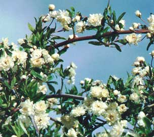 TIPOS DE ROSAS  Rosa-banksiae-flores
