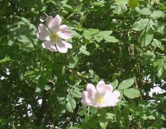 http://fichas.infojardin.com/foto-rosas/rosa-canina-flores.jpg