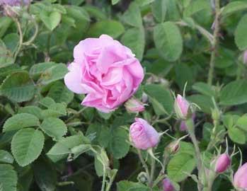 la fragancia de Eau de Toilette Rose 4 reines de Loccitane