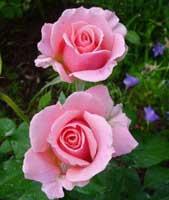 Rosales Grandifloras - Rosa Grandiflora