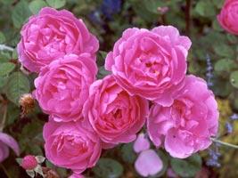 Rosas inglesas o Rosas de David Austin - Rosales modernos, Rosas modernas.