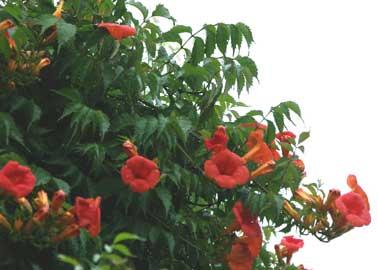 Trompeta china, Bignonia - Campsis grandiflora = Bignonia grandiflora