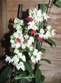 Clerodendro, Clerodendron