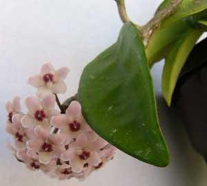 Flor de porcelana, Flor de cera, Planta de cera, Cerilla