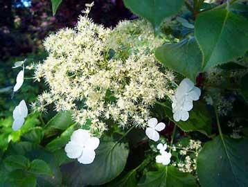 Hortensia trepadora hydrangea petiolaris - Ortensia rampicante petiolaris ...