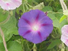 Campanilla Flor