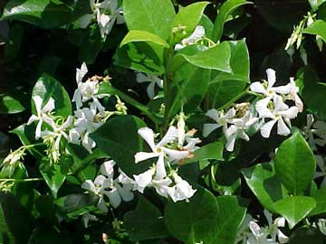 http://fichas.infojardin.com/foto-trepadoras/trachelospermum-jasmin.jpg
