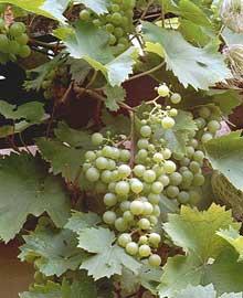 Parra de uvas, Uva parra, Vidueño