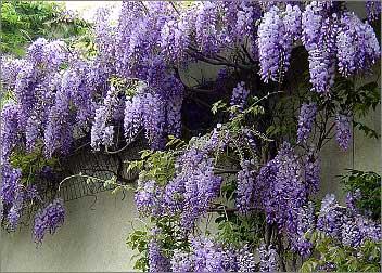 Glicinia glicina flor de la pluma wisteria sinensis for Glicina planta