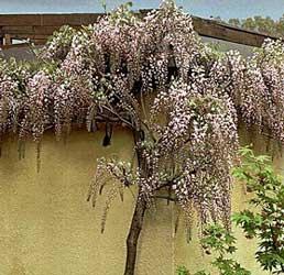 Glicinia japonesa wistaria japonesa wisteria floribunda - Glicinia en maceta ...