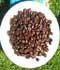 Coffea arabica ........ ( Cafeto, Cafetero, Planta del café )