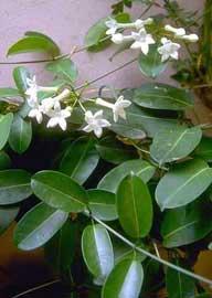 Jazmín de Madagascar, Estefanota, Estefanote, Estefanotes, Estefanotis